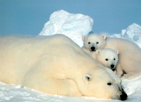 1-polarni-medvjed1