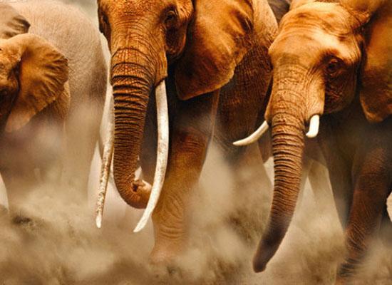 5-africki-slon